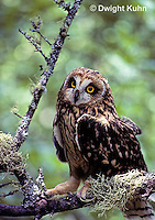 OW05-093z  Short-eared owl - sitting on lichen covered branch - Asio flammeus