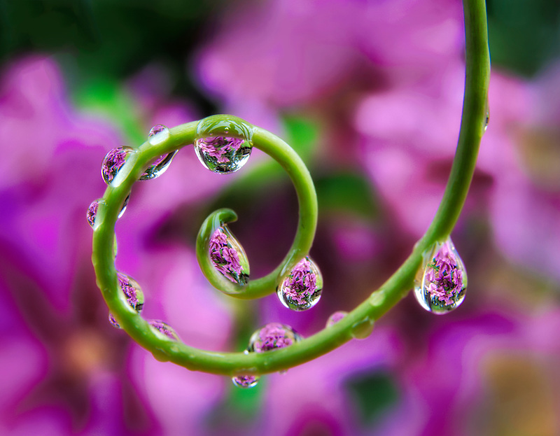 Clematis seen through beads of water on tendril of passion flower plant. Oregon