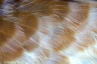 OW10-024z   Saw-whet Owl - feathers close-up - Aegolius acadicus