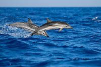 Striped Dolphin, Stenella coeruleoalba, juvenille Leaping, Azores-Pico-Portugal, Atlantic ocean