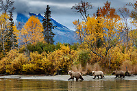 Alaska brown bear sow and two yearling cubs walk shoreline of Crescent Lake in Chigmit Mountains of Lake Clark National Park. Alaska<br /> <br /> Photo by Jeff Schultz/  (C) 2020  ALL RIGHTS RESERVED