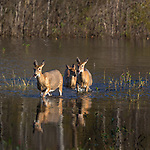 White-tailed deer walking in the water.