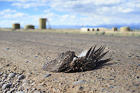 Road killed Greater Sage-Grouse in the Pinedale Mesa Anticline natural gas development. Sublette County, Wyoming. June.