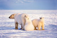 polar bear, Ursus maritimus, mother with cubs on the pack ice of the frozen coastal plain, 1002 area of the Arctic National Wildlife Refuge, Alaska, polar bear, Ursus maritimus