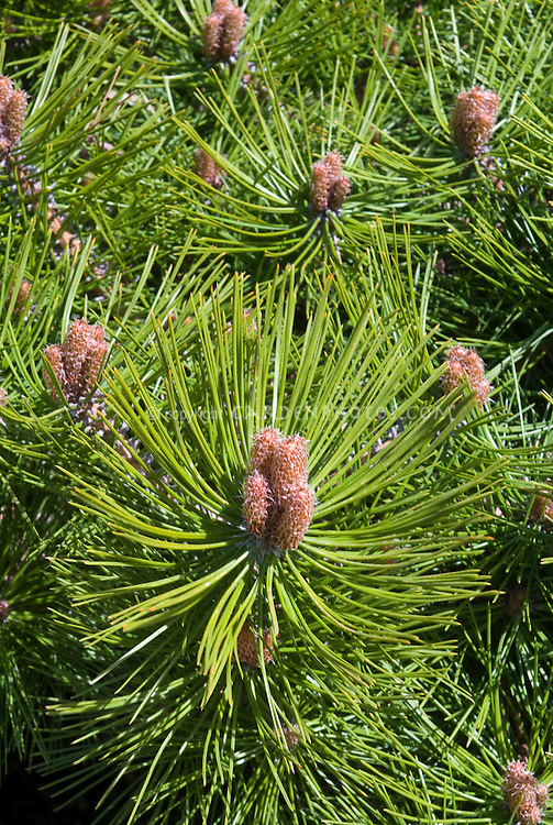 Pinus densiflora 'Jane Kluis