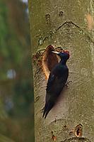 Schwarzspecht, an Baumhöhle, Nest, Nesthöhle, Schwarz-Specht, Specht, Dryocopus martius, black woodpecker, Le Pic noir