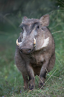 African Warthog at Dinsho, near the Bale Mountains of Ethiopia