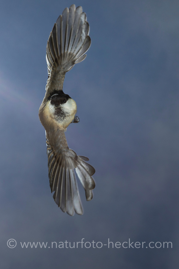 Weidenmeise, im Flug, Flugbild, fliegend, Weiden-Meise, Mönchsmeise, Mönchs-Meise, Meise, Parus montanus, Poecile montanus, willow tit, flight, flying, La Mésange boréale