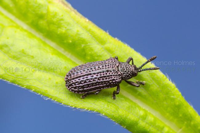 Leaf Beetle (Microrhopala excavata) on a Goldenrod leaf.