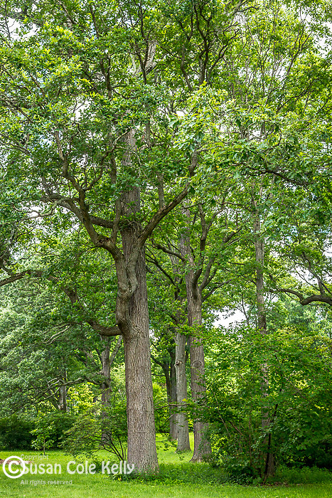 Oak trees at the Arnold Arboretum in the Jamaica Plain neighborhood, Boston, Massachusetts, USA