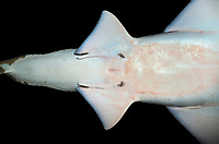 Large-tooth sawfish, Pristis microdon, Darwin, Northern Territory, Australia, Indo-Pacific Ocean, critically endangered, ventral view, claspers, immature male, pelvic fins, cloaca (c)