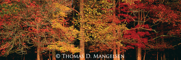 Deep in the heart of a Tennessee forest in Great Smoky Mountains National Park, a varied mosaic of red maple, sugar maple, white oak, and tulip poplar trees brings light to the fall season.