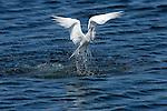 Clumsy Tern Dropping Fish, Elegant Tern, Bolsa Chica Wildlife Refuge, Southern California
