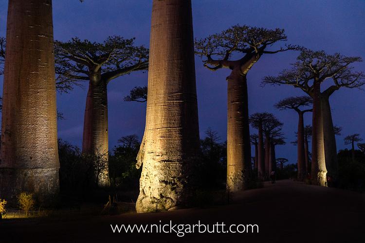 Grandidier's baobabs (Adansonia grandidieri) - the famous Alle de Baobab by floodlights (UNESCO World Heritage Site), near Morondava, western Madagascar.