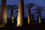 Grandidier's baobabs (Adansonia grandidieri) - the famous Alle de Baobab by floodlights (UNESCO World Heritage Site), near Morondava, western Madagascar.