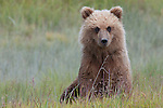 Brown bear(s), Lake Clark National Park, Alaska