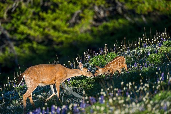 Columbian black-tailed deer (Odocoileus hemionus columbianus) doe greeting her young fawns among wildflowers--lupine and bistort in subalpine meadow.  Pacific Northwest.  Summer.