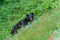 Black Bear (Ursus americanus) among subalpine wildflowers (mostly paintbrush). Olympic National Park, WA. Summer.
