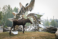 "A moose wanders past the Heath Satow Sculpture ""Inflorescence"" on the UAA campus outside the ConocPhillips Integrated Science Building."