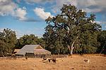 Barn, oaks, cattle, clouds, Mt. Aukum, Calif.