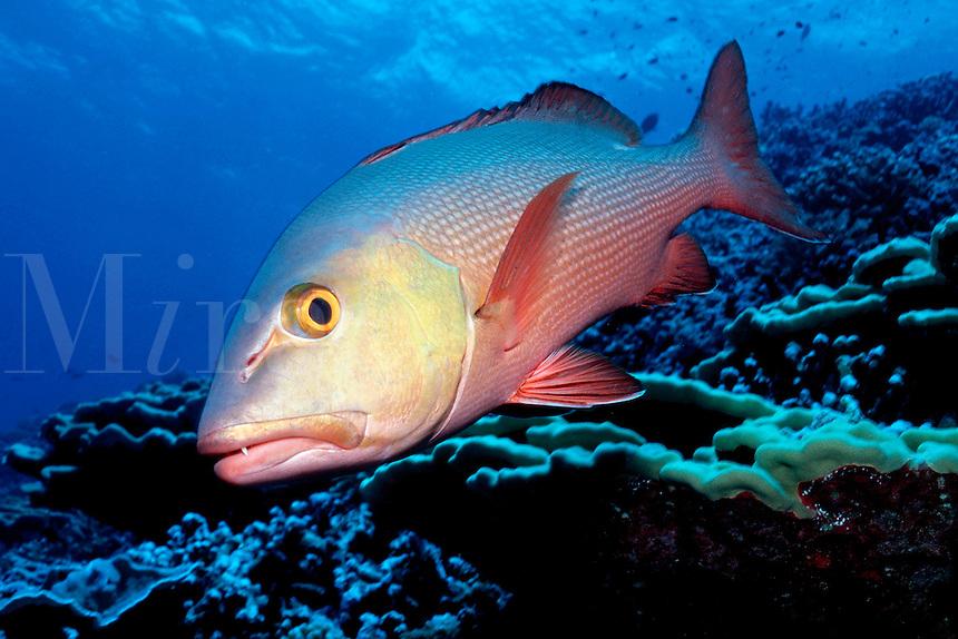 Red snapper, Lutjanus campechanus, Tuamotu Islands, Pacific Ocean