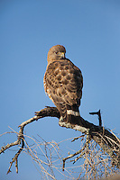 Broad-winged Hawk (Buteo platypterus), adult perched, Sinton, Corpus Christi, Coastal Bend, Texas, USA