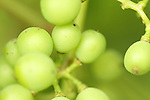 Tempranillo berries will ripen to a deep purple by the end of summer