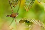 Bold-striped Tit-Babbler (Macronous bornensis), Tawau Hills Park, Sabah, Borneo, Malaysia