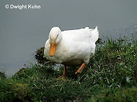 DG20-057z  Pekin Duck - adult