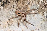 Laufspinne, Thanatus formicinus, Philodromidae, Laufspinnen, philodromid crab spiders, running crab spiders, philodromid crab spider, running crab spider