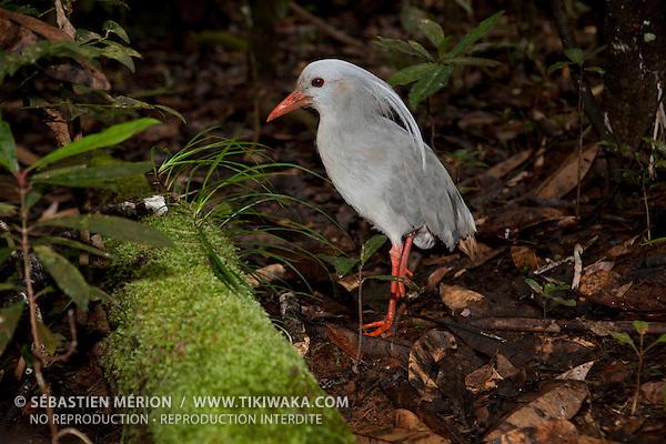 Cagou (rhynochetos jubatus) oiseau emblématique et endémique de Nouvelle-Calédonie. Aussi appelé kagou huppé, il vit en forêt uniquement au sol, ne vole pas et se nourrit de vers et d'insectes. Il ne pond qu'un seul oeuf par an, son espèce est très menacée et protégée, sa population atteint près de 700 individus.