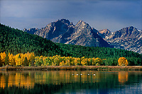 7494500482 canadian geese grus canadensis float on the snake river with fall colored aspens and the teton range in the background at oxbow bend in grand tetons national park wyoming
