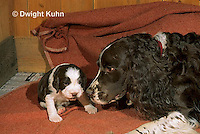 SH21-007z  Dog - caring for English Springer puppies just born, 8 hours old