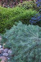 Artemisia californica 'Canyon Gray' Canyon Gray Sagebrush, silver gray foliage perennial in California native plant garden; Vincent Garden