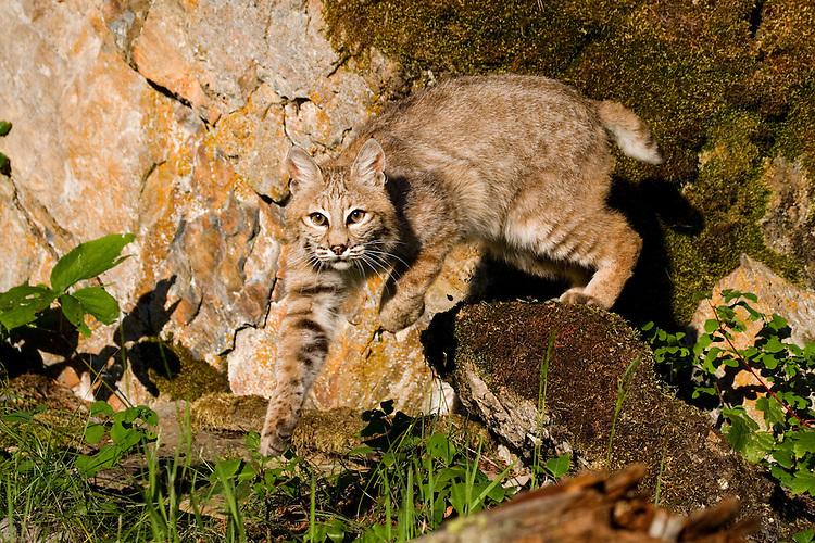 Bobcat jumping off a moss covered rock - CA