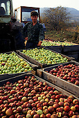 Bulgaria. Proud fruit farmer showing boxes of apples, some green, some red; tractors behind.