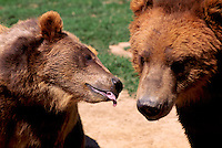 Kodiak Bears aka Alaskan Grizzly Bear and Alaska Brown Bear (Ursus arctos middendorffi) - North American Wild Animals