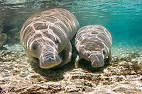 Florida manatee, Trichechus manatus latirostris, mother, nursing calf, Three Sisters Springs, Crystal River, Florida, USA