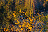 Brittlebush or brittlebrush (Encelia farinosa) flowers in evening light growing near Saguaro cactus in Sonoran Desert.  Arizona.  Feb-March.  Common desert wildflower.