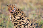 Cheetah (Acinonyx jubatus) three year old male with bloodied face, Kafue National Park, Zambia