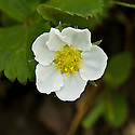 Strawberry plants in flower, mid May.