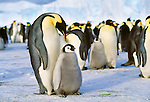 Emperor penguins and chicks, Antarctica