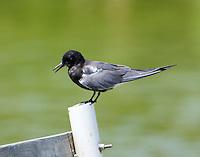 Adult black tern