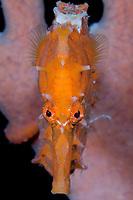 lined seahorse, Hippocampus erectus, Blue Heron Bridge, Lake Worth Lagoon, Riviera Beach, Florida, USA, Caribbean Sea, Atlantic Ocean