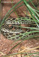 0512-1101  Mexican Lancehead Rattlesnake, Crotalus polystictus  © David Kuhn/Dwight Kuhn Photography