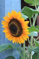 Stock photo: A big sunflower standing near a pole.