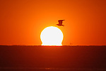 A gull flies over the Atlantic Ocean and the rising sun.