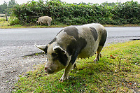 BNPS.co.uk (01202 558833)<br /> Pic: Graham Hunt/BNPS<br />  <br /> Pictured: A pig foraging in the verge next to the B3079 near Brook.<br /> <br /> Hundreds of pigs have been let loose in the ancient New Forest national park to gobble up fallen acorns which are poisonous to other animals. <br /> <br /> The quirky tradition involves swine roaming the Hampshire woodland to clear it of the fruit which can be fatal to the famous ponies and cattle. <br /> <br /> Commoners released their herds today marking the beginning of the annual event known locally as Pannage.