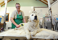 FAO JANET TOMLINSON, DAILY MAIL PICTURE DESK<br /> Pictured: A dog is groomed Monday 14 November 2016<br /> Re: The Dog House in the village of Talog, Carmarthenshire, Wales, UK