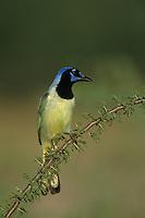 Green Jay, Cyanocorax yncas,adult, Starr County, Rio Grande Valley, Texas, USA, March 2002